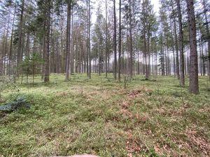 Schöner, ertragreicher Fichtenwald am Hausruck
