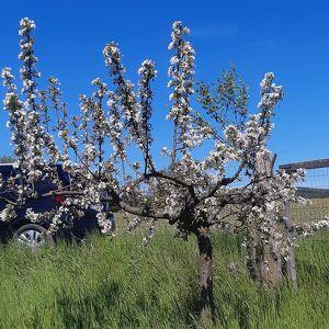 Obstgarten eingezäunt