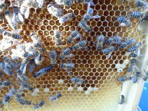 Ich verkaufe Honig aus meine Farm CZ
