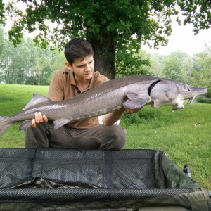 Silberseefischen