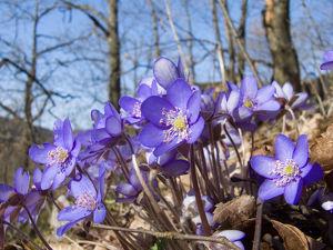 Da blüht euch was! Frühlingsauftakt im Nationalparkwald