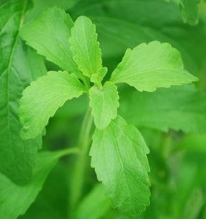 Stevia, Erythrit und Xylit - Anwendung in Küche und in der Zahnpflege