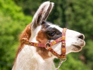 LAMA-EXPEDITION DURCH DAS MÜHLVIERTEL ... Mit faszinierenden Tieren die Kulturlandschaft erleben